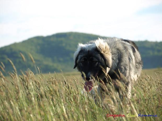 Câinii Ciobănești Românești Carpatini revin la stânele din Apuseni!