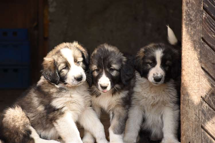 Carpathian sheepdogs are both intelligent and good-natured